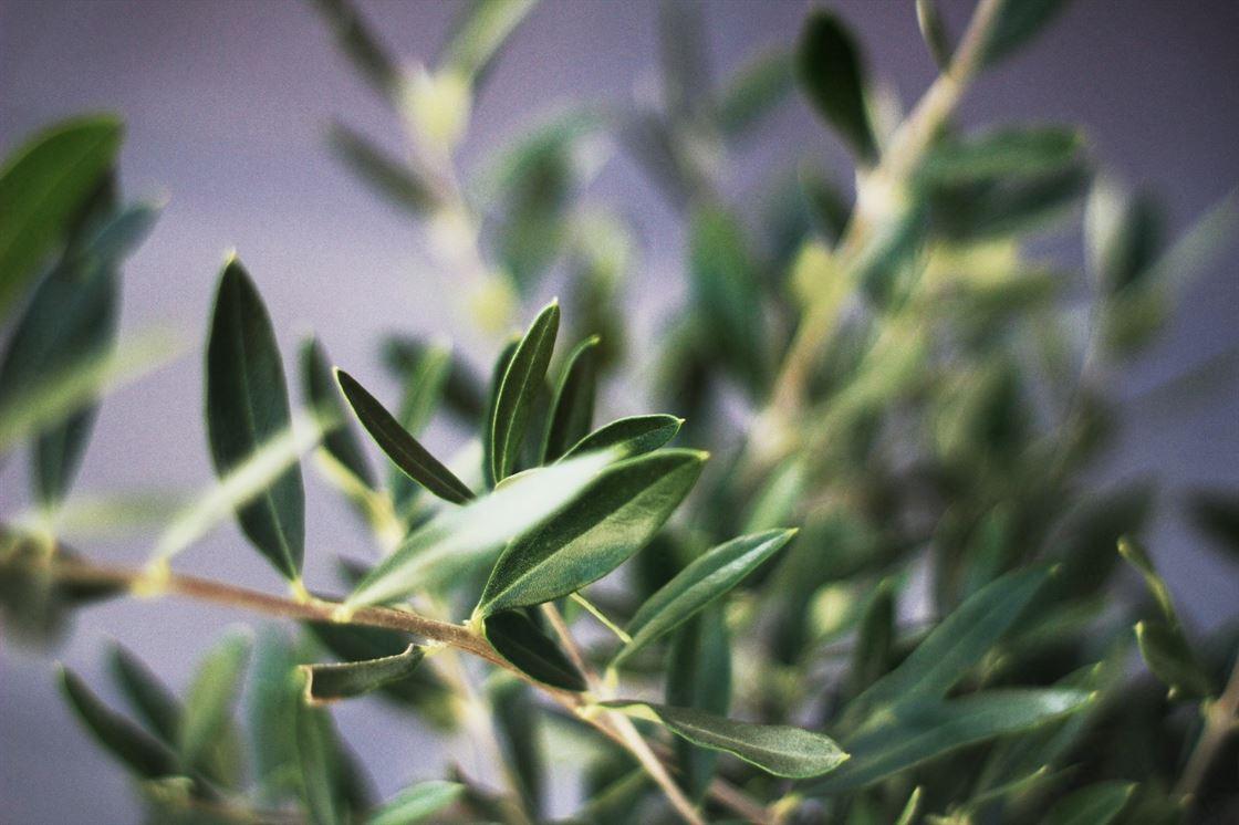 Come curare gli ulivi: stasi vegetativa