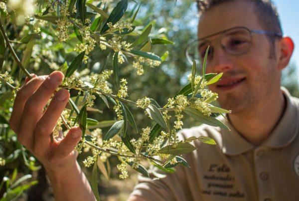 Dalle olive all'olio: la fioritura |Ramo di ulivo in fiore